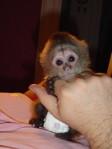 Male And Female Capuchin And Marmoset Monkeys Ready For New Homes For Sale Adoption From Manchester England Adpost C Pet Monkey Capuchin Monkey Pets For Sale