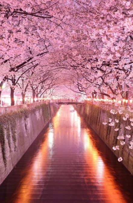32 Ideas Flowers Pink Wallpaper Iphone Cherry Blossoms Japan Garden Japanese Tree Pink Trees