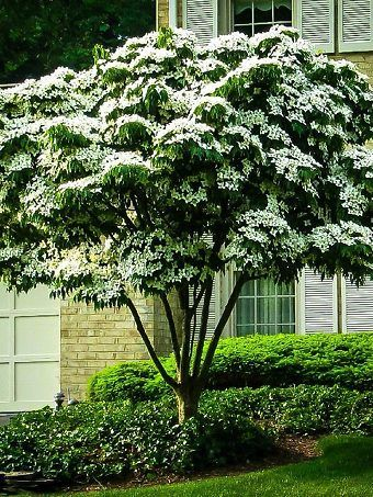 Buy Dogwood Trees Dogwood Trees For Sale The Tree Center In 2020 Dogwood Tree Landscaping Kousa Dogwood Tree Trees For Front Yard