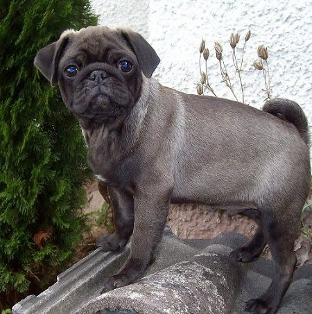 Cute Silver Pug Puppy With Images Cute Pugs Pug Puppies Pug Dog