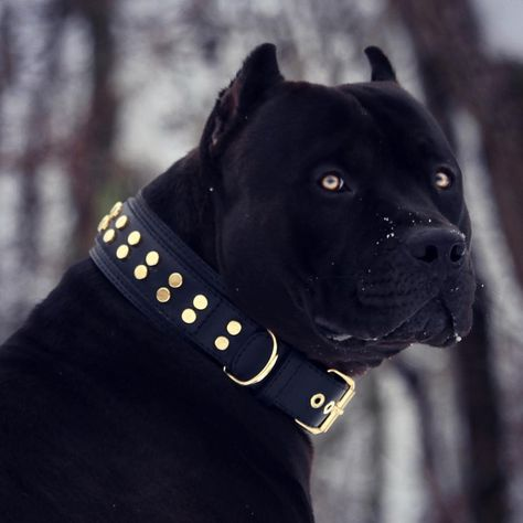 The Loyal Working Companion Dog: American Pit Bull Terrier - Doggie Woof - Hunde Pitbull Noir, Pitbull Terrier, Big Dogs, Cute Dogs, Dogs And Puppies, Doggies, All Black Pitbull, Black Pitbull Puppies, All Black Dog