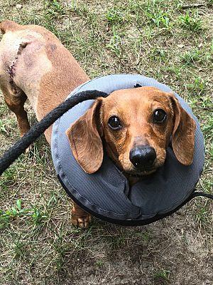 Oak Ridge Nj Dachshund Meet Dutchess Of Doxie Land A Dog For