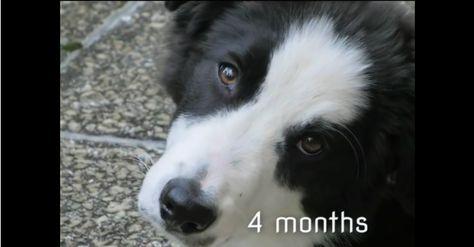 Border Collie Grows Up Border Collie Collie Collie Puppies