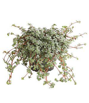 Dehner Ihr Online Shop Fur Garten Pflanzen Balkon Tiere Pflanzen Zimmerpflanzen Ampelpflanzen