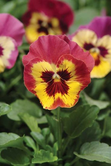 Panola Rose Picotee Xp Pansy Pansies Flower Seeds Planting Flowers