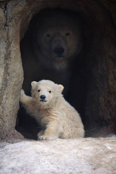 Polar Bear Cub in Cave (Art Prints, Wood & Metal Signs, Canvas, Tote Bag, Towel)