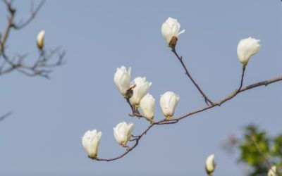 My Magnolia Buds Won T Open Learn How To Make A Magnolia Bloom Magnolia Flower Blue Sky Background Magnolia Trees