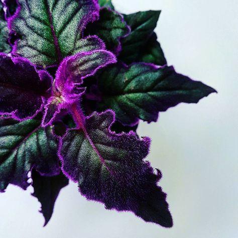 Цветок Гинура: уход в домашних условиях фото