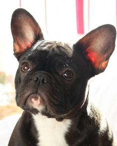 Discover The Playful Frenchie Puppies Frenchbulldogofinstagram