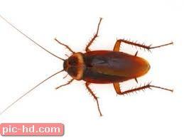 صور الصرصور معلومات عن الصرصور وطرق القضاء عليه Animals Images Cockroaches Animals