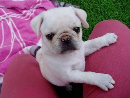 Cute White Pug Puppy Pug Puppies Pug Obsessed Pugs