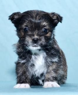 Yorkshire Terrier Mix Puppies For Sale Yorkshire Terrier