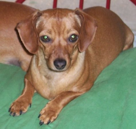 Dachshund Dog For Adoption In Cabool Mo Adn 512798 On