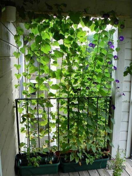Balkon Gaaaden Wurde Diesen Wachsenden Vorhang Auf Einem Gitter Im Garten Lieben Oder Apartment Patio Gardens Balcony Privacy Garden Privacy Screen