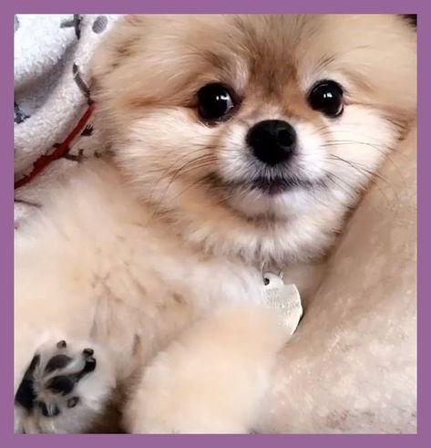 Puppy Pomsky Welpe Pomsky Puppypomsky In 2020 Cute Baby Animals Fluffy Dogs Cute Dogs