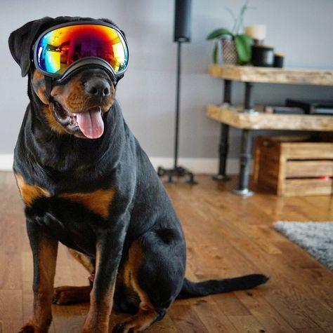 Watch The Best Youtube Videos Online Rottweiler Dog