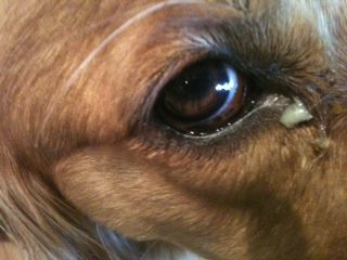 Dog Eye Boogers Green Excessive How To Get Rid Of Dog Eyes