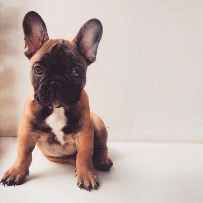 Sweet Frenchie French Bulldog Puppy Sopoja Elaimia Ranskanbulldoggi Sopot Koirat