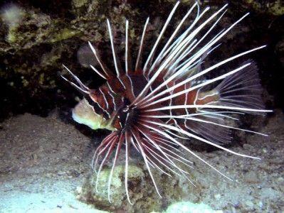 Radiata Lionfish Lion Fish Pet Fish Radiata