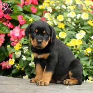 Pin By Mindy Zimmerman On Rotties Rottweiler Puppies