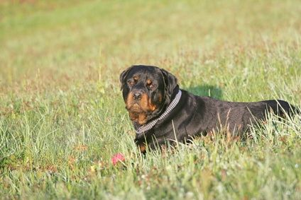 Signs Of A Pregnant Rottweiler Rottweiler Rottweiler Dog Dogs