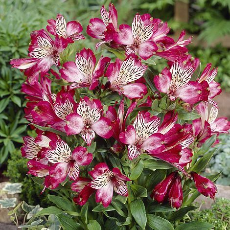 Alstroemeria Red Lion Peruvian Lily Peruvian Lilies Flower Seeds Types Of Flowers