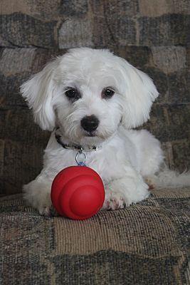 Wichita Ks Maltese Meet Morgan A Dog For Adoption Maltese