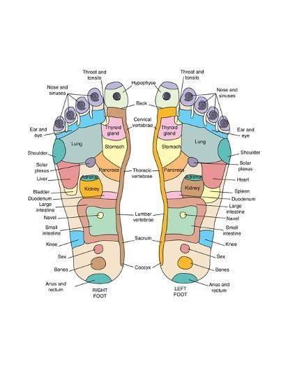Shiatsu Massage Take a look at the 'Reflexology foot map, artwork. Reflexology is a form of alternative medicine in which' prints from Media Storehouse Reflexology Foot Map, Reflexology Benefits, Foot Chart, Acupressure Points, Sport Fitness, Foot Massage, Massage Table, Massage Therapy, Alternative Medicine