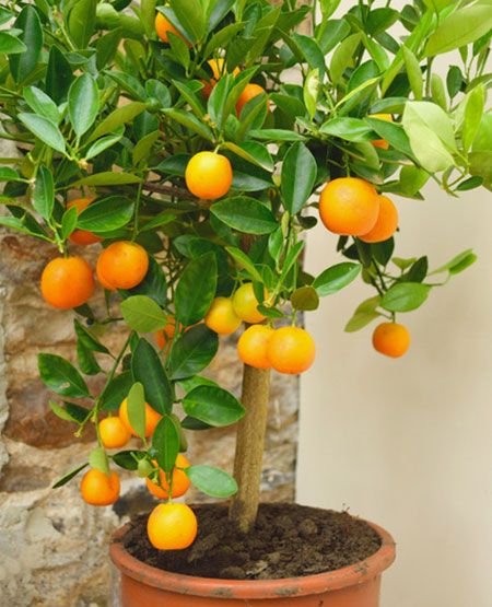 Easypeel Clementine Tree Clementine Tree Citrus Plant Fast Growing Trees