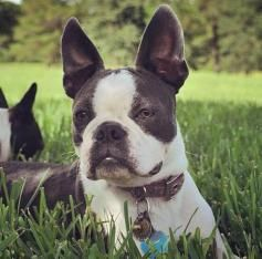 Boston Terrier Puppies For Sale In Texas Boston Terrier Puppy