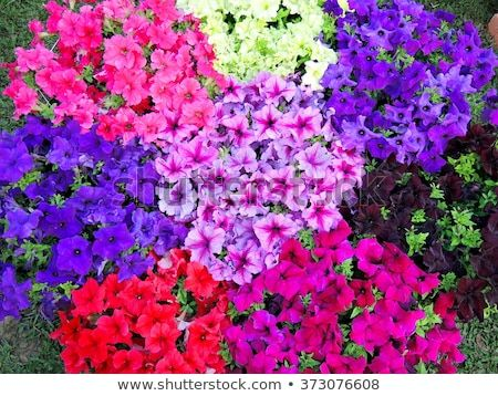 Multicolored Petunia Flower Bed Petunia Flower Petunias Garden Flower Beds