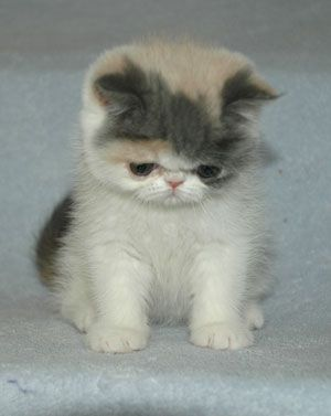Exotic Shorthair Kitten - Tap the link now to see all of our cool
