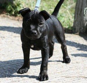Black Staffy Pitbullpuppies Pitbull Terrier Staffy Dog Bull Terrier