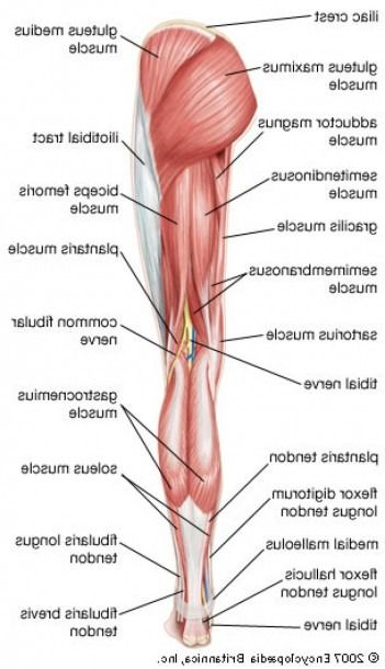 Lower Back And Leg Muscle Diagram : lower, muscle, diagram, Thigh, Muscle, Muscles, Diagram,, Muscles,, Anatomy