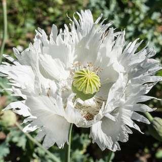 Pin Auf Poppy Mohnblumen