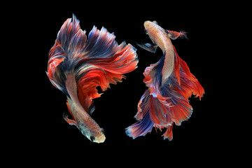 Dual Betta Fish Isolated On Black Background Mascot Double Tail