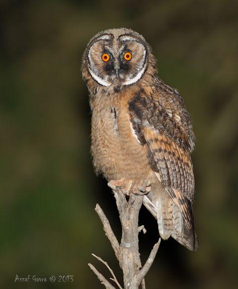 Long-eared Owl (Asio otus) juvenile. Photo by Assaf Gavra.