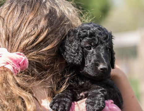 Litter Of 5 Goldendoodle Puppies For Sale In Lawson Mo Adn 27708