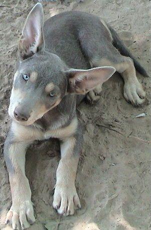 2 Red And Tan Kelpie Pups Dogs Puppies Gumtree Australia Oberon Area Oberon 1255480301