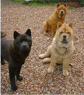 Chow Chow Dog Breed Pictures 4 Smooth And Rough Coated Red Chow