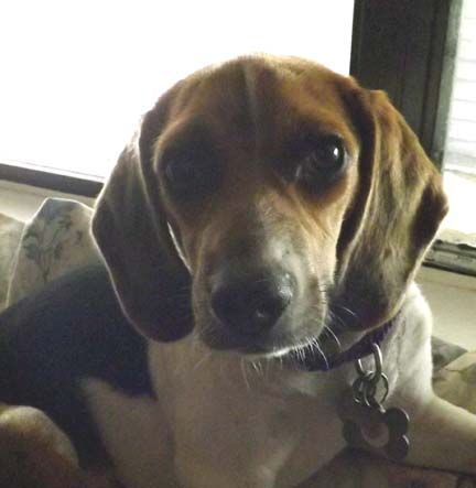 Holly Available For Adoption Through Houston Beagle Hound A