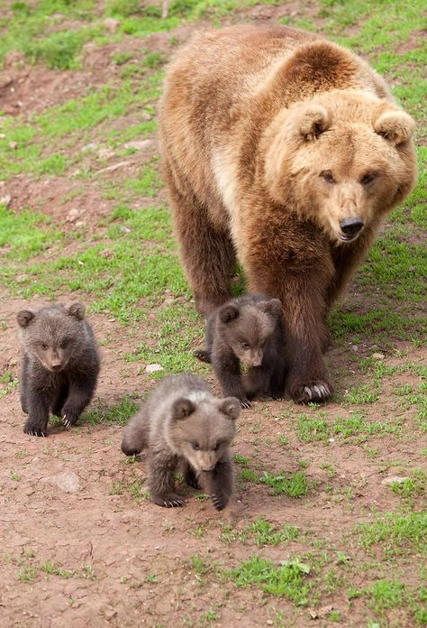 Momma bear and cubs❣️ - Tierarten - Animals The Animals, Cute Baby Animals, Funny Animals, Wild Animals, Funny Animal Pictures, Baby Panda Bears, Bear Cubs, Grizzly Bears, Baby Pandas