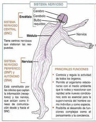 Cuadros Sinopticos Sobre El Sistema Nervioso Central Y Periferico Cuadro Comparativo Sistema Nervioso Humano Sistema Nervioso Sistemas Del Cuerpo Humano