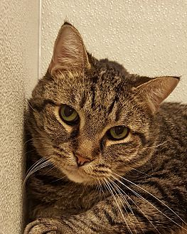 Simmy Cat Adoption Kitten Adoption Cats And Kittens