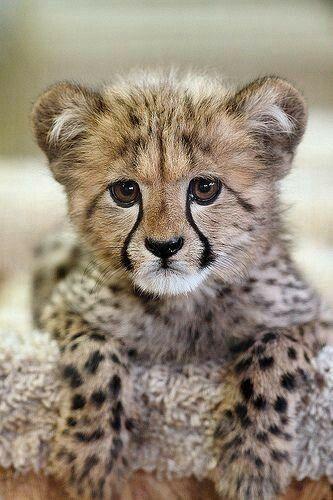 Cute Baby Cheetah Cute Wild Animals Baby Cheetahs Animals Wild