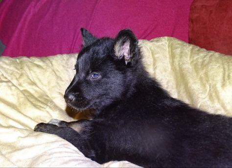 Sandros Leisha Puppy Sandrosleishadog Sandrosleishadogs Dog Dogs Puppy Puppies Pet Pets Sandros Wolfshepherd Sh In 2020 Wolf Hunde Schaferhund Mix Wolfshund