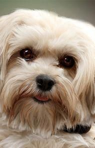 List Of Pinterest Havanese Dogs Haircuts Pets Images Havanese Dogs