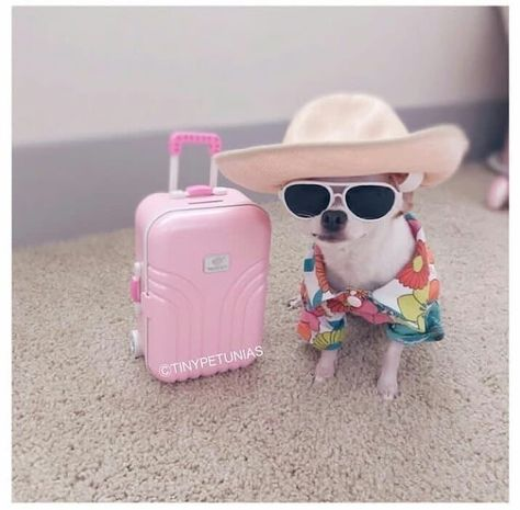 On Trip Chihuahua Cute Animal Memes, Animal Jokes, Cute Animal Pictures, Cute Funny Animals, Chihuahua Love, Chihuahua Puppies, Cute Puppies, Cute Dogs, Funny Dog Memes