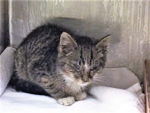Sniffles Is A 2 Month Old Kitten Who Has A Uri And Is Dehydrated And Lethargic Needs A Foster Home To Get Some Tlc And Recuperate Cats Cool Cats Cat Shelter
