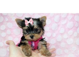 SUPER TINY TEACUPYORKIE PUPPIES - READY NOW!!! FALLS CHURCH For sale Virginia Beach Pets Dogs